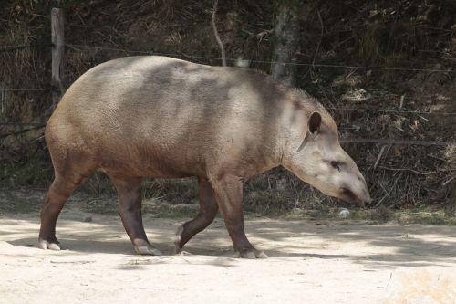 anteater animals fauna