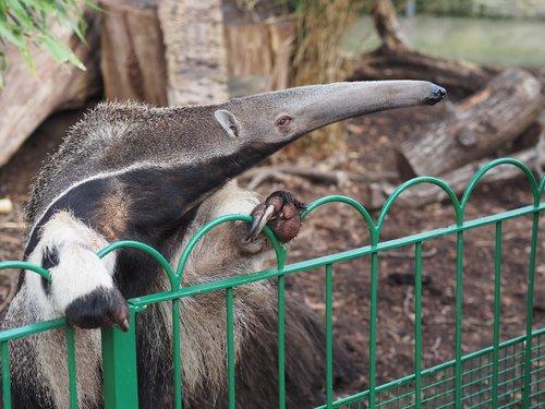 anteater  zoo  longeat
