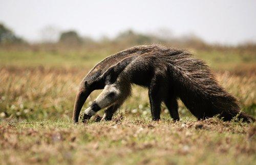 anteater  mammal  venezuela