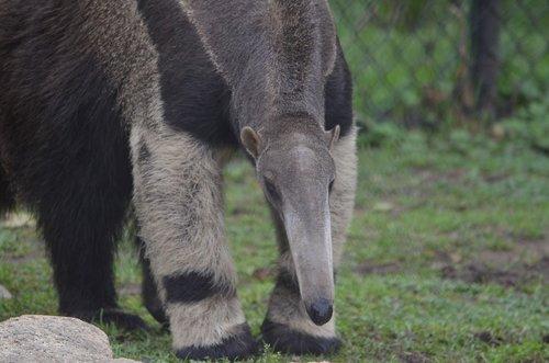 anteater  mammal  vermilingua