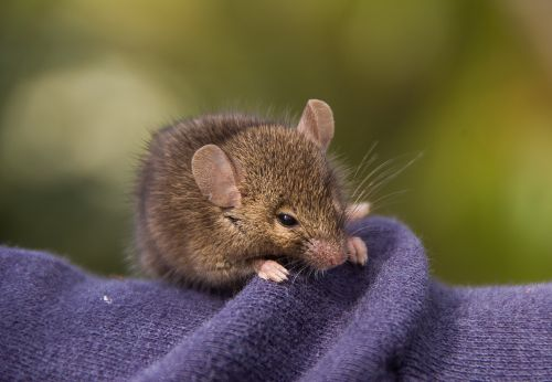 antechinus marsupial mouse marsupial