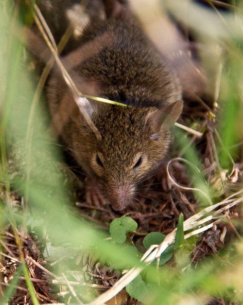 antechinus marsupial mouse wild