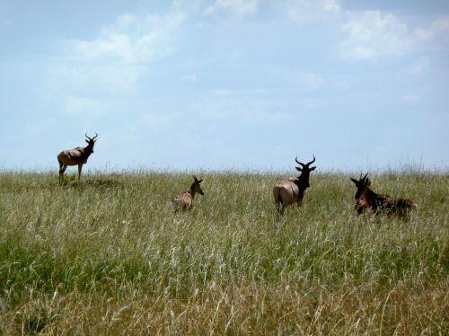 antelope kenya africa