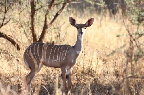 antelope big ears cooling