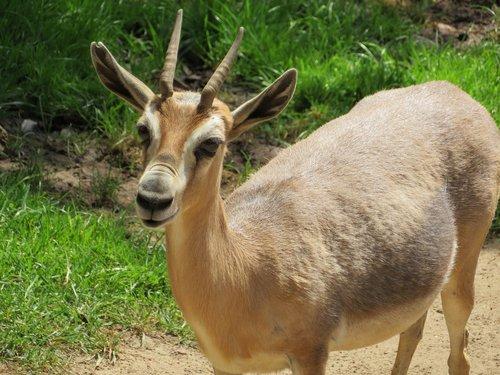 antelope  san diego zoo  hooved mammal