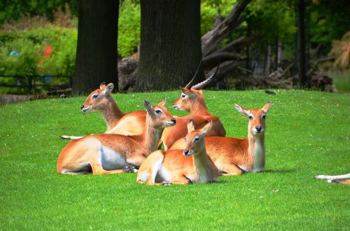 antelope lychee marsh antelopes lechwe