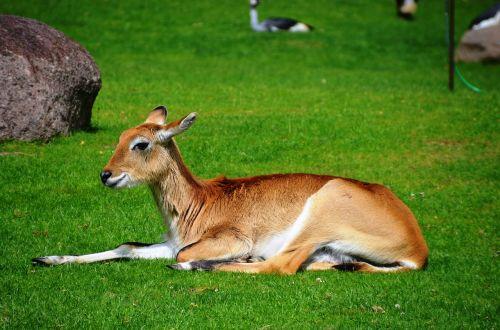 antelope lychee moor antelope lechwe