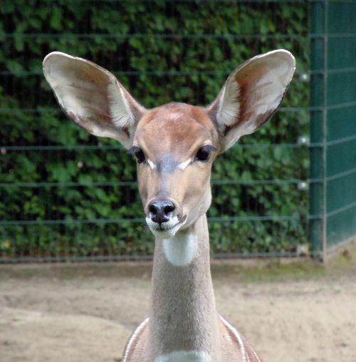 antelope small kudu wild animal