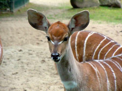 antelope small kudu kudu