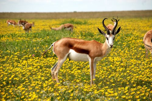 antelope nature flowers