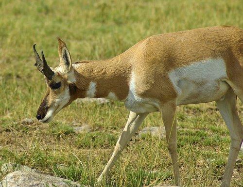 antelope in south dakota  antelope  pronghorn