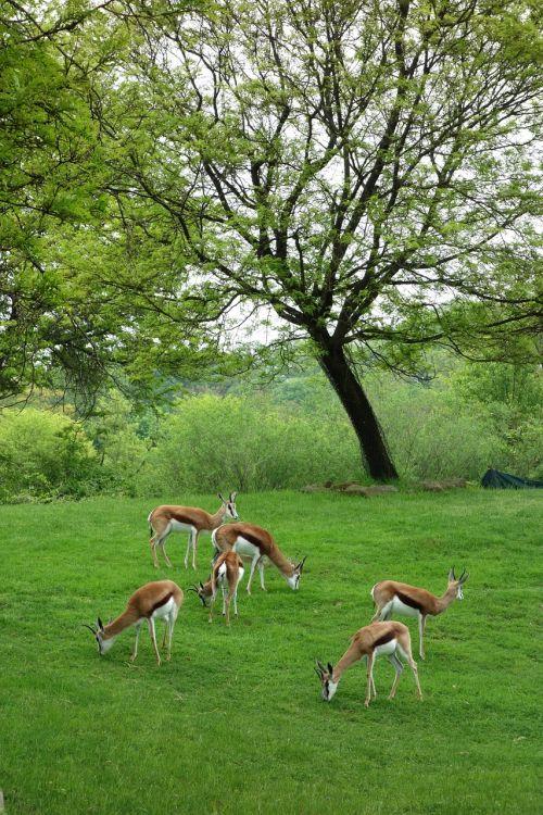 antelopes pittsburgh zoo