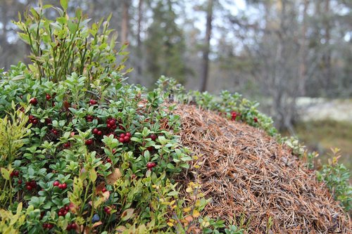 anthill  cranberries  the nature of the