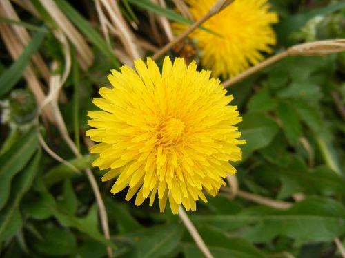 priešvėžiniai,asteraceae,kiaulpienė,dispepsija,gėlė,pūkas,taraxacum,geltona,gamta