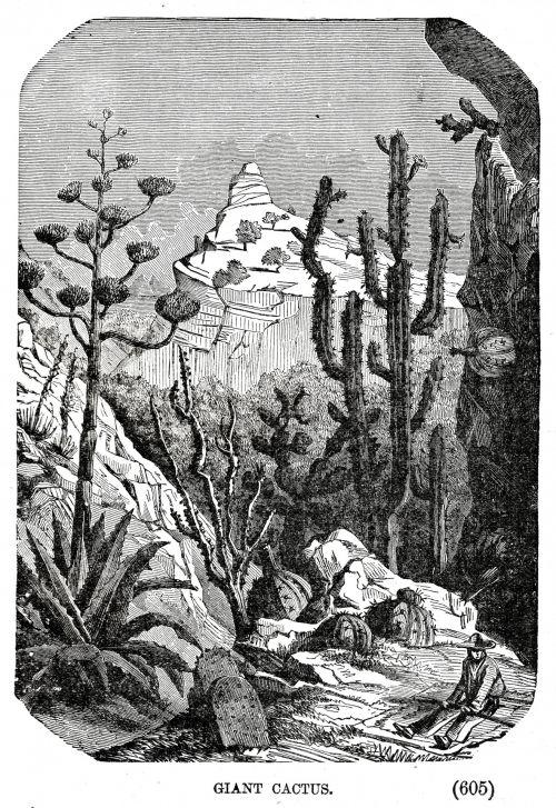 Senovinis, vintage, istorija, istorinis, gamta, dykuma, kaktusas, kaktusai, antikvariniai iliustracijos: dykumos kaktusas