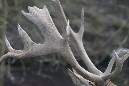 antler horned wildlife photography