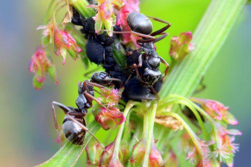 ants formicidae garden ants