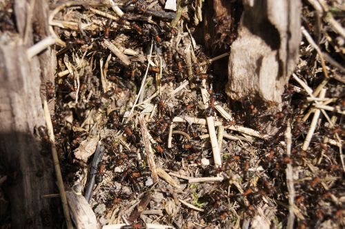 ants wood ant nature