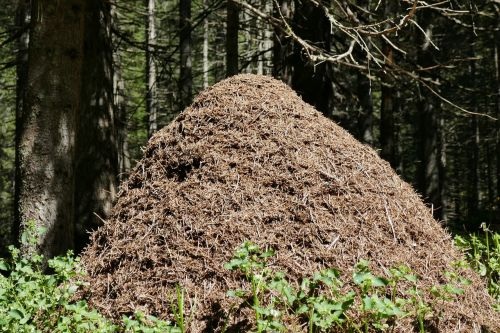 ants anthill forest