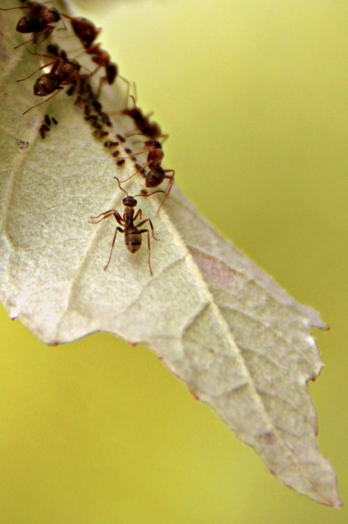 ants leaf colony