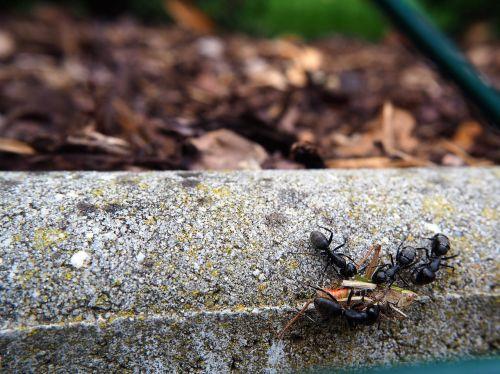 ants grasshopper eat