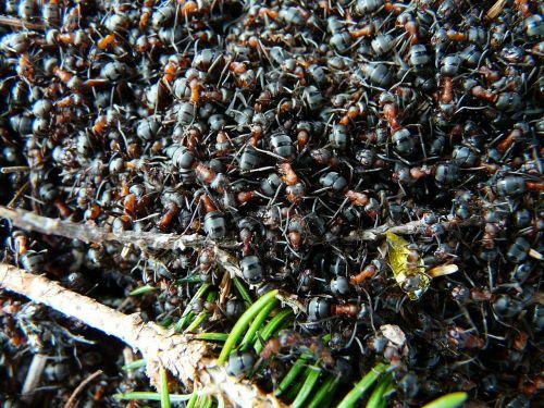 ants wood ants formica