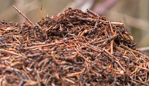 ants  anthill  wood ant