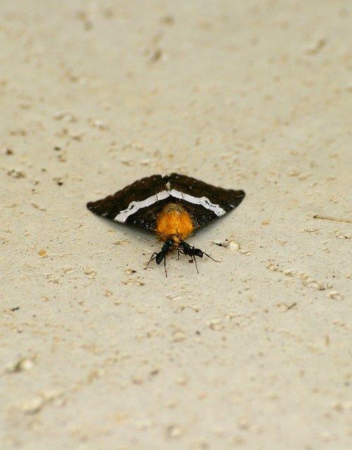 ants  butterfly  prey
