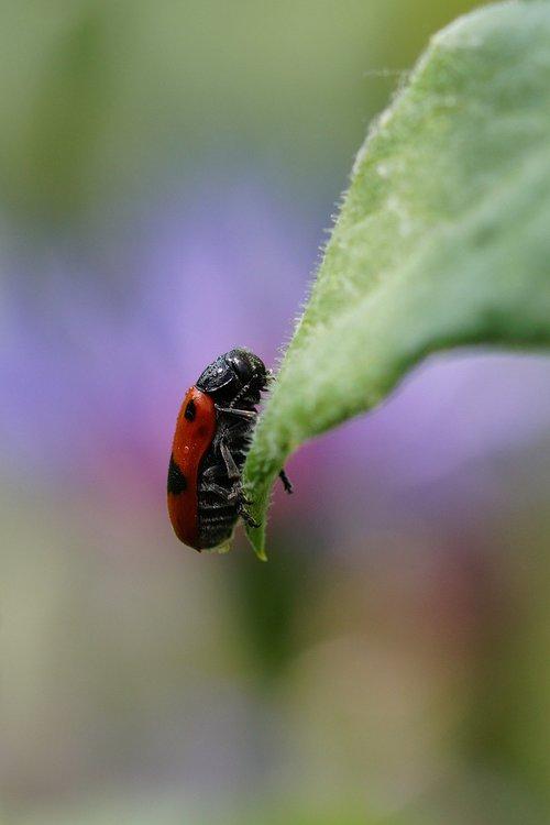 ants  leaf beetles  clytra laeviuscula