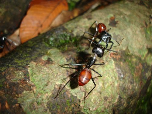ants insects borneo
