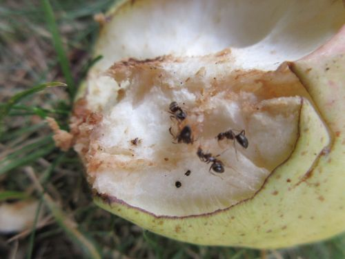 Ants On A Pear