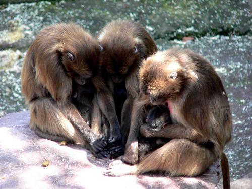 ape monkey baby monkey family