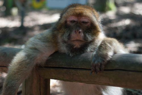 ape monkey forest monkey mountain
