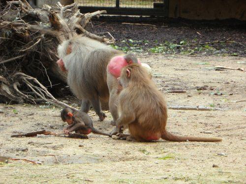 ape baboons family