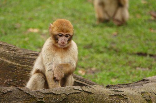 ape monkey animal