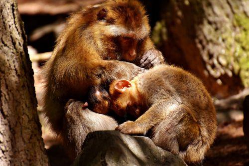 ape baby monkey loving