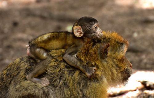 ape baby monkey mama