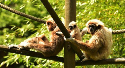 ape baby ape baby