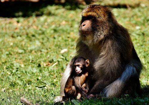 ape baby monkey barbary ape