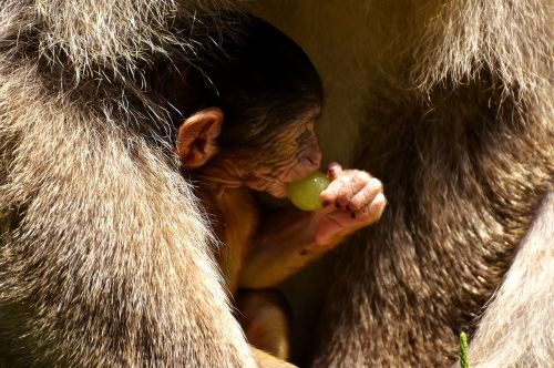 ape baby monkey grapes