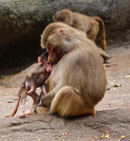 ape monkey family zoo