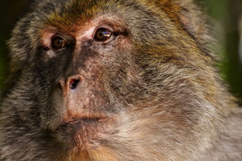 ape barbary ape endangered species