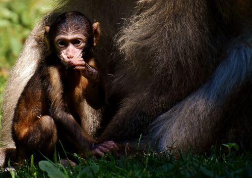 ape barbary ape baby monkey
