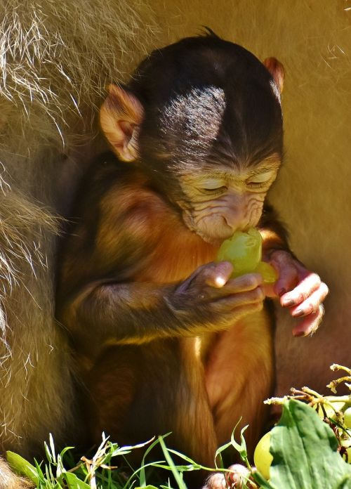 ape baby monkey eat