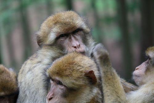 ape animals snuggle
