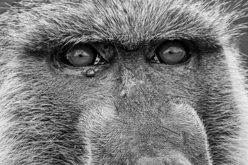 ape baboons old world monkey