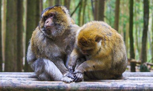 ape  care  fur