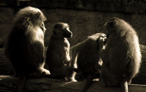 ape baboons relaxation