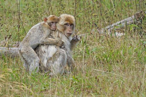 ape young animal barbary ape