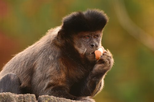 apell of capuchin monkeys  monkey  zoo